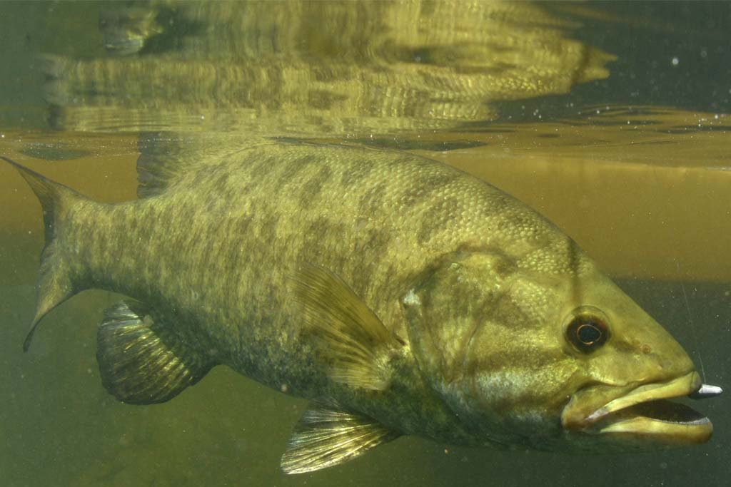 bass fish slatwater or no
