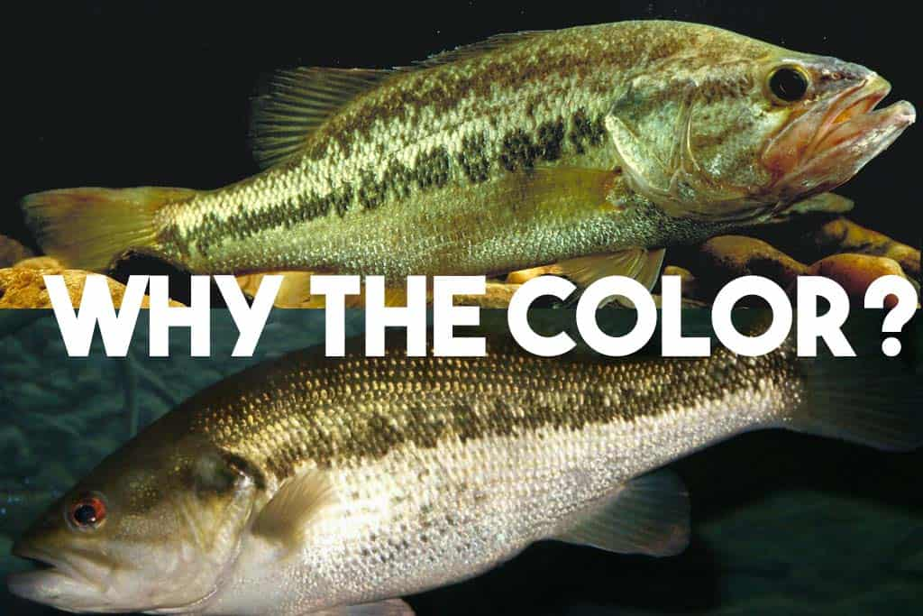 color change in bass