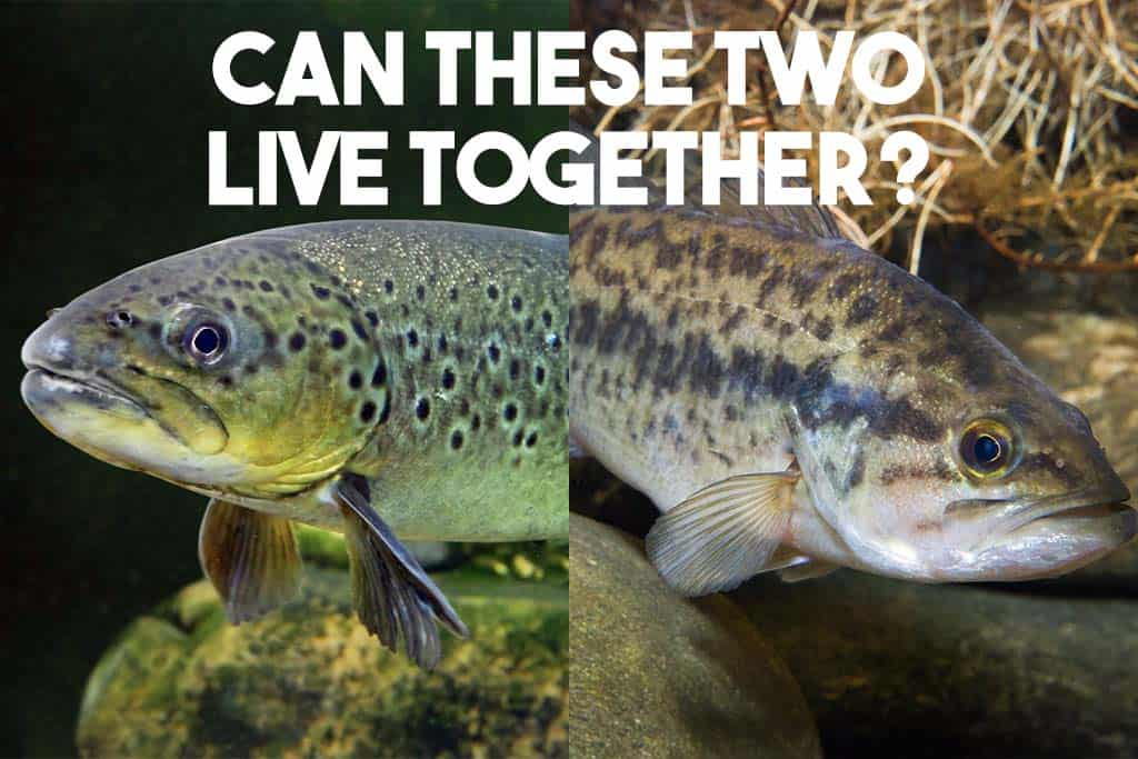 image of trout and a bass fish